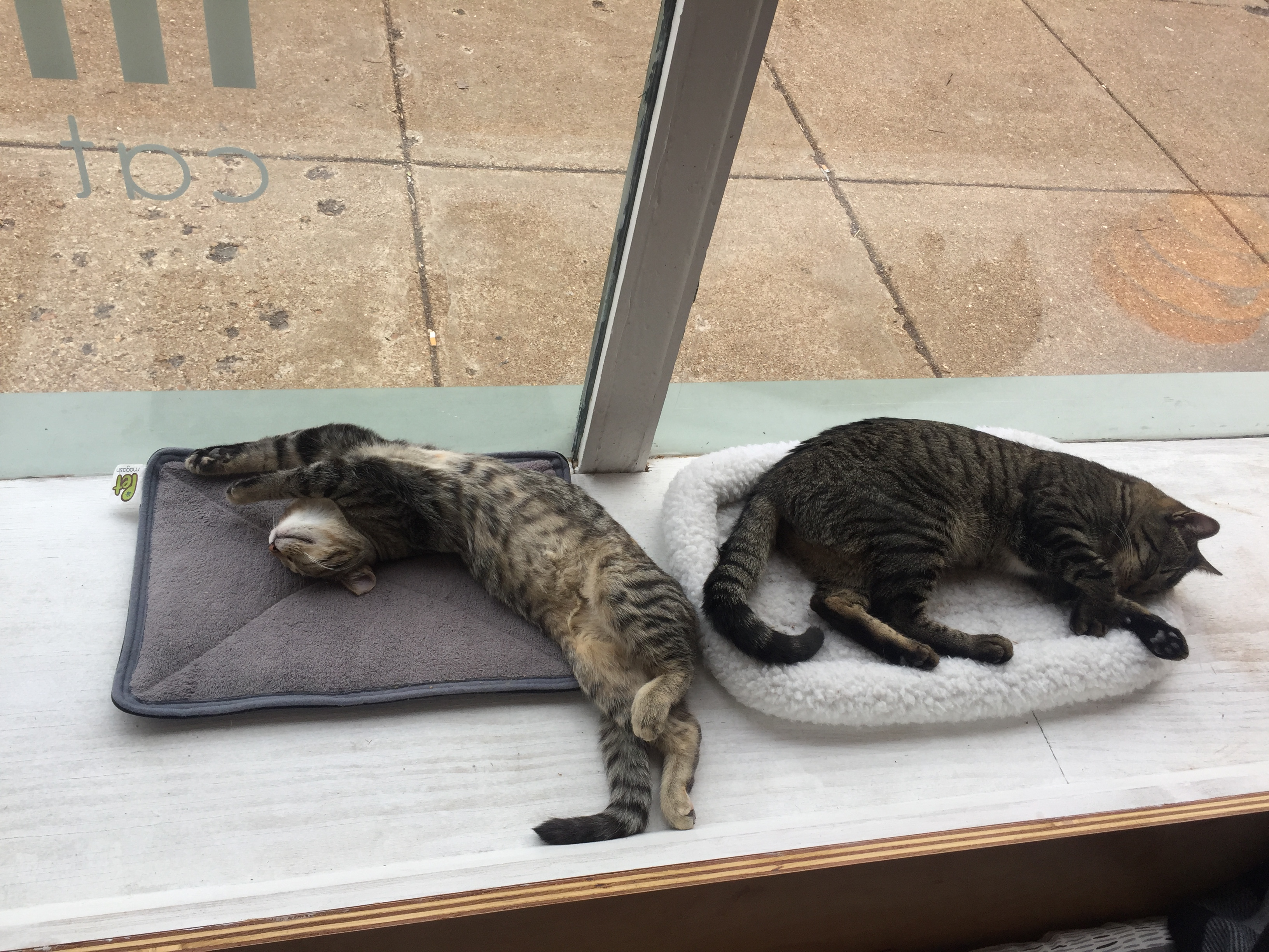 Cats at Mauhaus Cat Cafe in St. Louis, Missouri