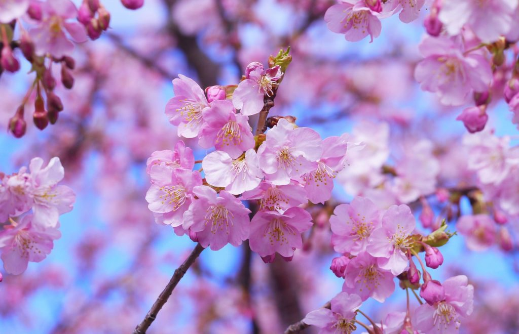 Sakura (cherry blossom) at springtime in Japan.