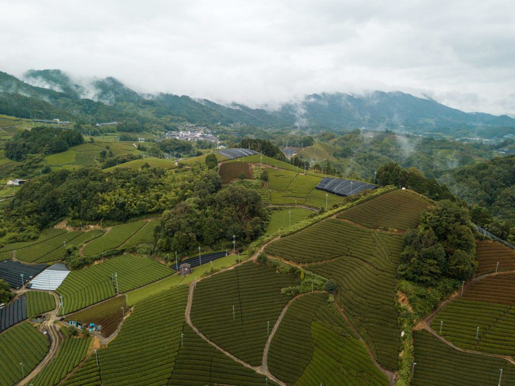 Aerial shot of wazuka tea plantation (rows and rows of green tea)