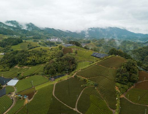 Aerial shot of wazuka tea farms (rows and rows of green tea)