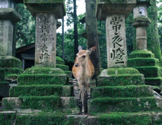 Deer in Nara, Japan - Nara Itinerary post