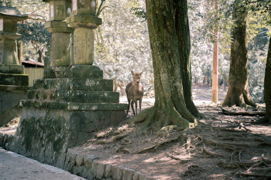 A lone deer walking through trees and stone structures in Nara Park, Japan.