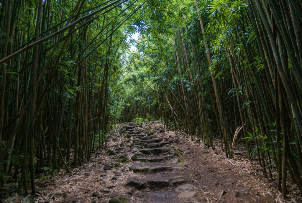 Bamboo Grove on the Pipiwai Trail in Maui.