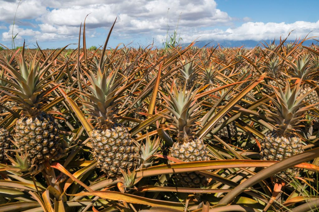 Fully-grown pineapples at Maui Pineapple Tours.