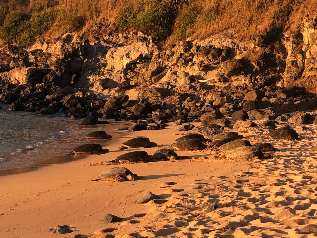 Turtles sunbathing at Ho'okipa Lookout in Maui.