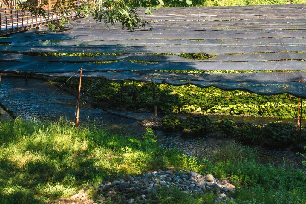 Tarps covering wasabi plants to provide them with shade at Daio Wasabi Farm.