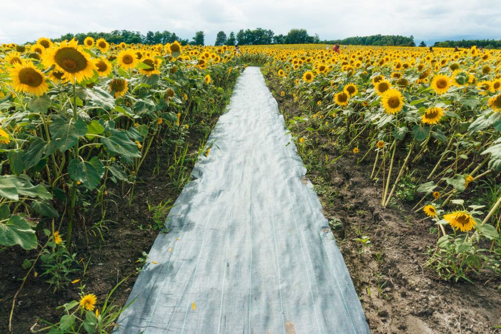 Sunflower field tarp in Hokkaido, Japan