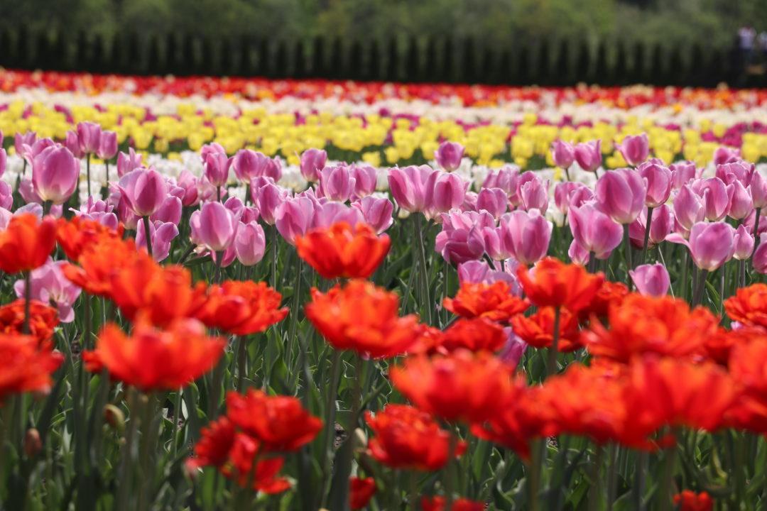 Yubetsu Tulips - Hokkaido Flower Fields